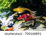 koi fish or fancy carp fish... | Shutterstock . vector #700168891
