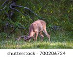 Whitetail Deer Buck With His...