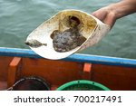 Small photo of Oyster toadfish (opsanus tau) or Stonefish opsanus and Scientific name Allenbatrachus grunniens at caught trapped on a fishing boat from thailand.