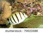 Small photo of Convict Tang (Acanthurus triostegus) in Aquarium