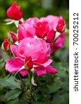 Stock photo roses in bamberg neue residenz germany 70025212