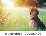 Small photo of A beagle dog is sitting in the field and looking for something absentmindedly.