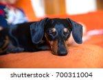 Cute Black Dachshund Dog Sleep