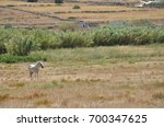 a lone horse stands tethered to ... | Shutterstock . vector #700347625