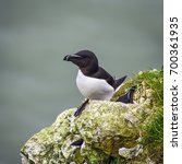 Small photo of Square close up profile portrait of razorbill (Alca torda)