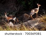 dik dik antelope group. african ... | Shutterstock . vector #700369381