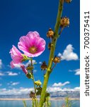 Small photo of Hollyhock - Alcea rosea flower, sea and blue sky with clouds in background.