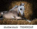 American Miniature Horse. Dun...