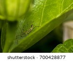 Leafhopper Assassin Bug  Zelus...
