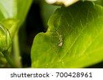 Leafhopper Assassin Bug  Zelus...
