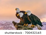 Small photo of three American bald eagles perch on tree snag against background of Alaskan Kenai mountains and Cook Inlet with late afternoon warm sun