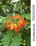 Small photo of caesalpinia pulcherrima flower in nature garden