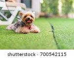 yorkshire terrier dog lies and... | Shutterstock . vector #700542115