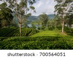 tea factory and surrounded tea... | Shutterstock . vector #700564051