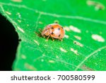 Small photo of An adult male tiny orange Mexican bean lady beetle, lady bug, lady bird (Arthropoda: Insecta: Coleoptera: Coccinellidae: Epilachninae: Epilachna varivestis) with black dot crawling on a big green leaf