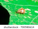 an adult male tiny orange... | Shutterstock . vector #700580614