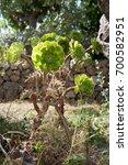 Small photo of Aeonium. Plant.