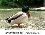 "Cloe to a drake ""Anas platyrhynchos"" - stock photo"