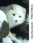 Small photo of Arctic fox (alopex lagopus)