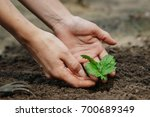 women's hands put a sprout in... | Shutterstock . vector #700689349