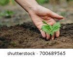 women's hands put a sprout in... | Shutterstock . vector #700689565