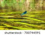 blue dragonfly on green algae... | Shutterstock . vector #700744591