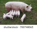 little pigs eating milk from... | Shutterstock . vector #700748065