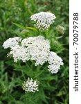 Small photo of White Yarrow (Achillea millefolium) a Native Wildflower