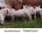 group of piglets suckling from... | Shutterstock . vector #700851019