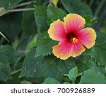 Red Hibiscus Flower With Green...