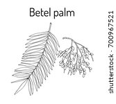 betel palm  areca catechu   or... | Shutterstock .eps vector #700967521