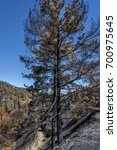 Small photo of Burned pine tree after a forest fire at Solea area in Troodos mountains, Cyprus, in June 2016