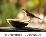 Small photo of Rufous Naped Wren