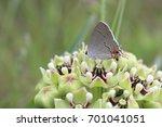 Grey Hairstreak Butterfly On...