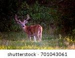 Whitetail Buck Deer Odocoileus...