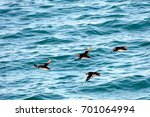 atlantic puffins  faxa bay ... | Shutterstock . vector #701064994