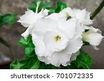 white azalea flowers in the... | Shutterstock . vector #701072335