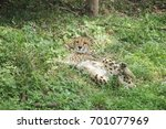 Adult Cheetah Resting In The...