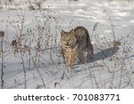 canadian lynx  lynx canadensis  ...   Shutterstock . vector #701083771