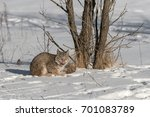 canadian lynx  lynx canadensis  ...   Shutterstock . vector #701083789