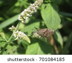 Small photo of American Snout Butterfly Feeds on Nectar from Wildflower