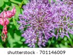Small photo of Blooming of broadleaf wild leek (Allium atroviolaceum)