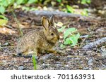 Baby Brown Hare Or Bunny On...