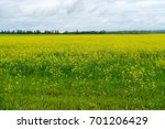 plain landscape with flowering... | Shutterstock . vector #701206429