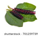 Phytolacca Known As Pokeweeds...