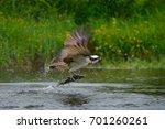 Osprey catching fish. flying...