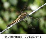 female european black tailed...   Shutterstock . vector #701267941
