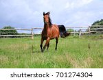 Stock photo brown horse is running on a paddock in the sunshine 701274304