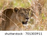 lion in kidepo valley national... | Shutterstock . vector #701303911