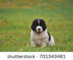 Landseer Dog Puppy Pure Breed...